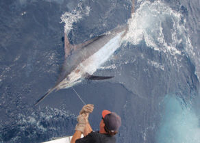 Giant blue marlin at transom of Gecko about to be released in a tournament.